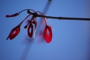 Maple seeds in January