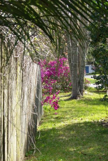 azaleas over the fence