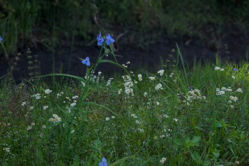 4-9-15 daisies & blues