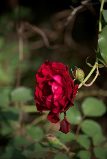 4-9-15 rose